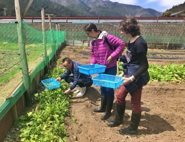 A Japanese farmer teaching how to pick vegetables for Spanish family