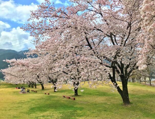 満開に咲き誇る桜